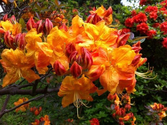 Рододендрон золотисто-оранжевый, сорт 'Klondike'
