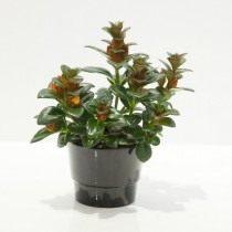 Нематантус гибридный (Nematanthus hybrid)