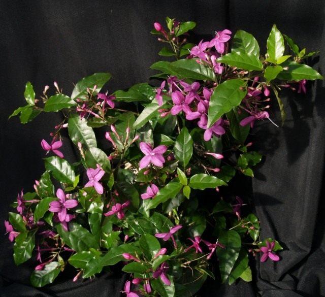 Псевдоэрантемум рыхлоцветковый (Pseuderanthemum laxiflorum)