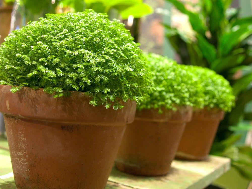 Комнатное растение похожее на мох