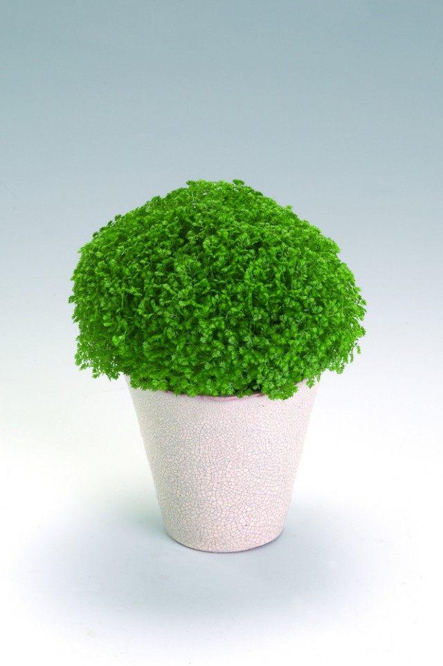 Селагинелла (Selaginella)