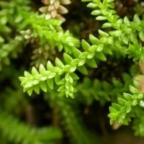 Селагинелла швейцарская (Selaginella helvetica)