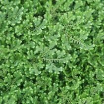 Селагинелла крючковатая (Selaginella uncinata)