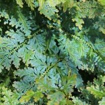 Селагинелла Вильденова (Selaginella willdenowii)
