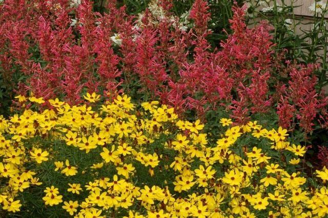 Агастахе, или лофант в цветнике