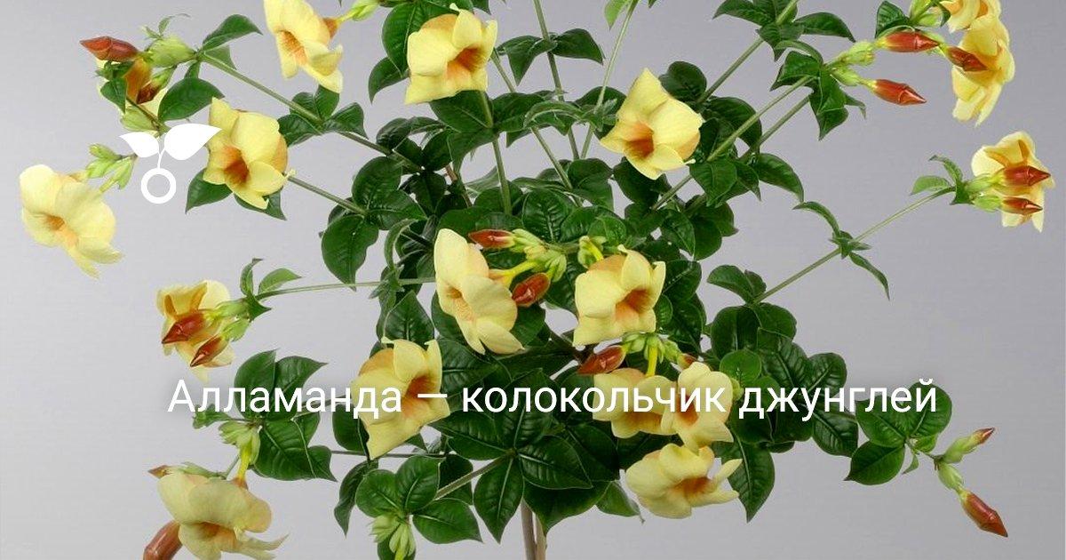 Алламанда цветок уход в домашних условиях и размножение