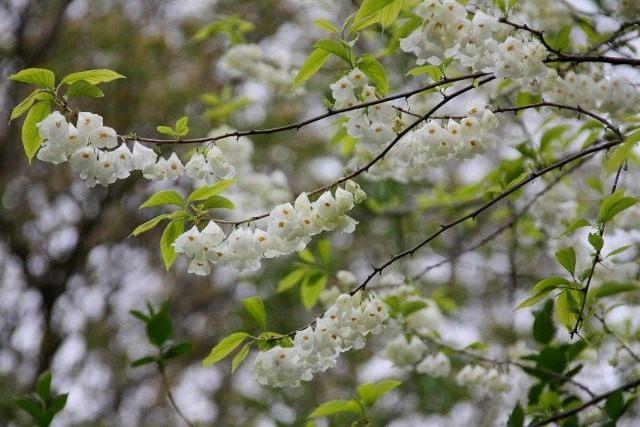 Халезия, или Галезия каролинская (halesia carolina)