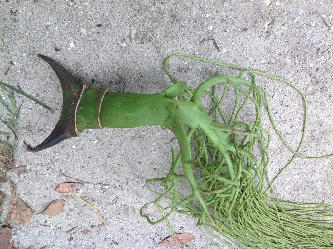 Помогите,пожалуйста, опознать растение. Фото сделано на Сейшелах