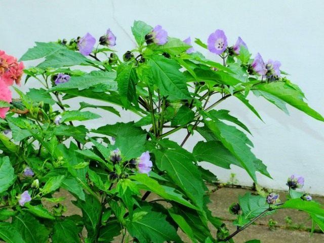 Никандра физалисовидная (Nicandra physalodes)