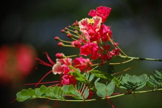 Цезальпиния прекраснейшая (Caesalpinia pulcherrima)
