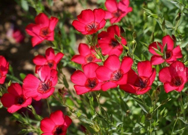 Лён крупноцветковый (Linum grandiflorum)