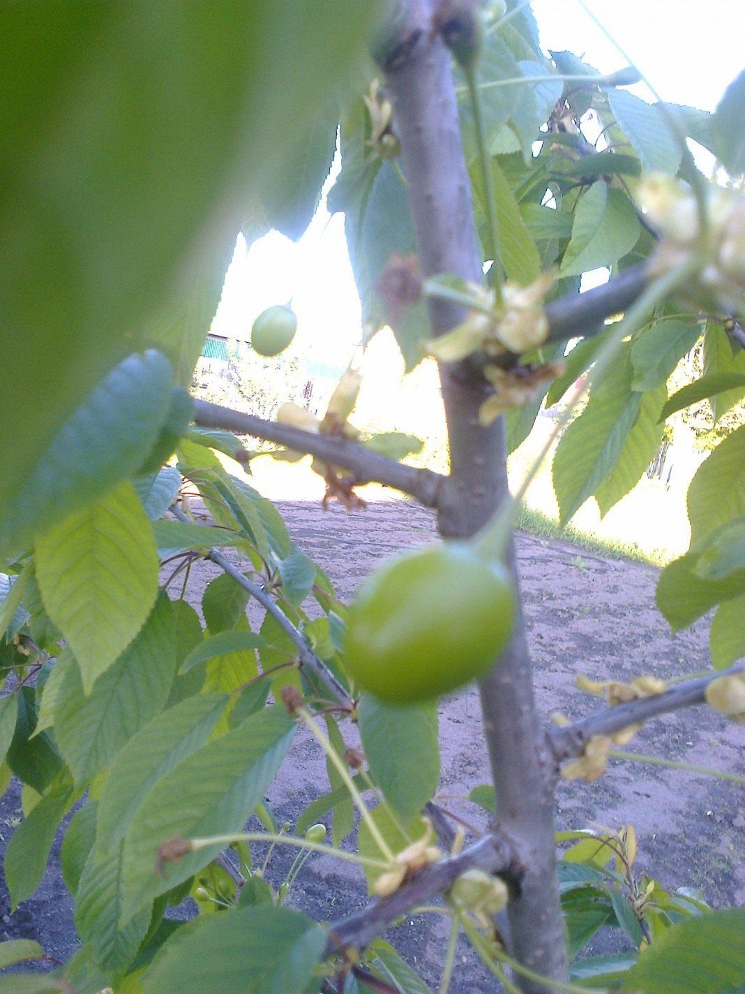 Плод дерева 25.05.2016 г.