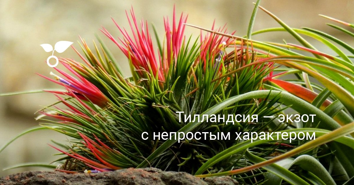 Как ухаживать за цветком тилландсия дома, цветение атмосферной тилландсии