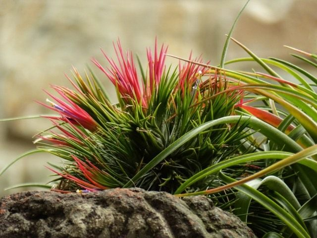 Тилландсия фиалкоцветковая (Tillandsia ionantha)