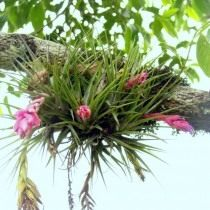 Тилландсия торчащая (Tillandsia stricta)