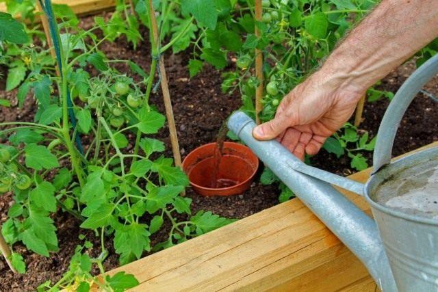 Проведение корневой подкормки раствором биопрепарата