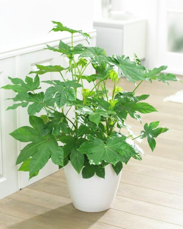 Фатсия японская (Fatsia japonica)