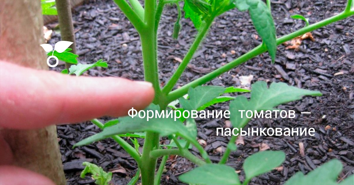 Индетерминантный томат формирование куста