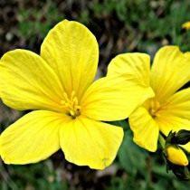Лён желтый (linum flavum)