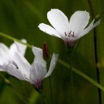 Лён тонколистный (linum tenuifolium)
