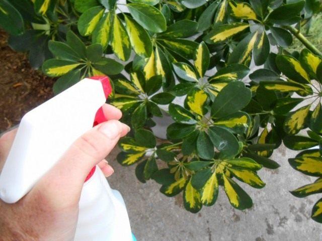 Обработка комнатного растения полиролью для листьев