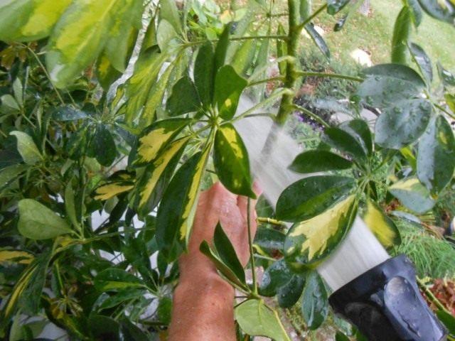 Перед нанесением блеска на листья растение необходимо помыть от пыли