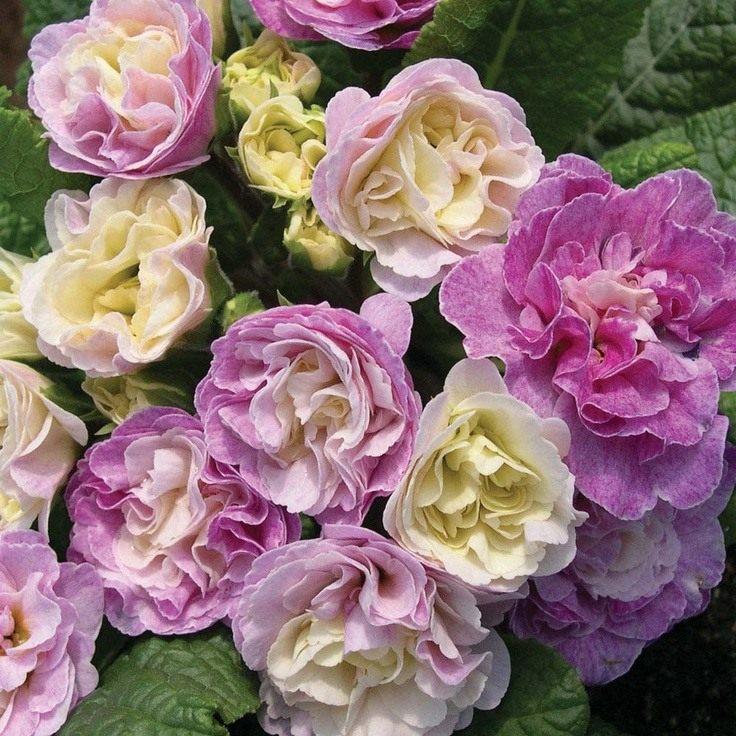 primula-belarna-pink-ice-2