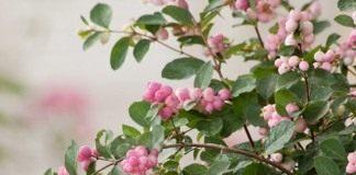 Снежноягодник Доренбоза «Меджикал свит» (Symphoricarpos x doorenbosii 'Magical Sweet')