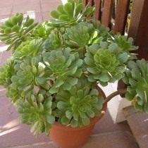Эониум древесный (Aeonium arboreum)