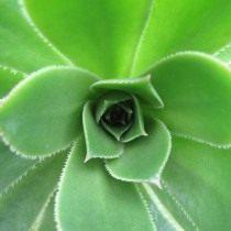 Эониум виргинский (Aeonium canariense var. virgineum)