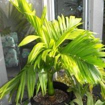 Арека катеху (Areca catechu), или Бетелевая пальма