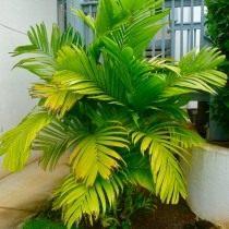 Арека трехтычинковая (Areca triandra), или Гиофорба индика (Hyophorbe indica)
