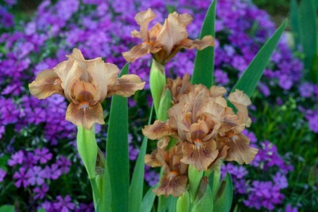 Низкорослый ирис бородатый «Зачарованный Мокко» (Iris 'Enchanted Mocha')