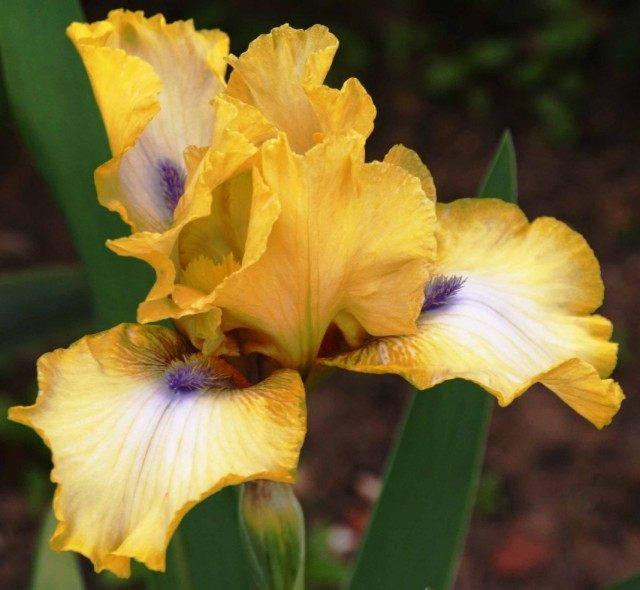 Ирис бородатый «Абби Чант» (Iris 'Abbey Chant')