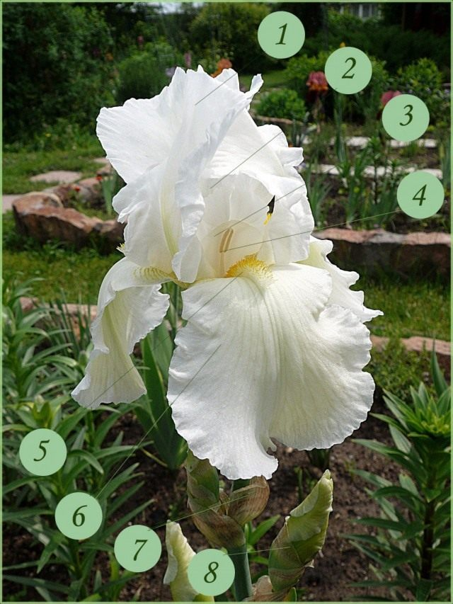 Строение цветка бородатого ириса. 1 - внутренние (верхние) лепестки (доли околоцветника), стандарты; 2 - надрыльцевый гребень; 3 - рыльце; 4 - пыльник; 5 - бородка; 6 - наружные (нижние) лепестки (доли околоцветника), фолы; 7 - завязь; 8 - листок обертки