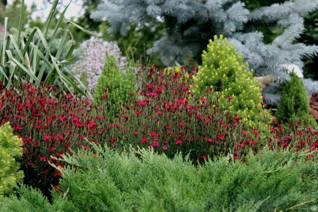 Гвоздика травянка в цветнике