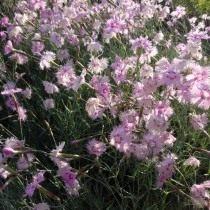 Гвоздика уральская (Dianthus uralensis)