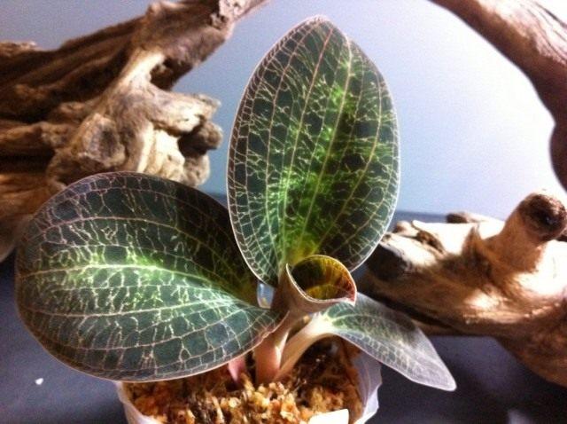 Доссиния мраморная (Dossinia marmorata)