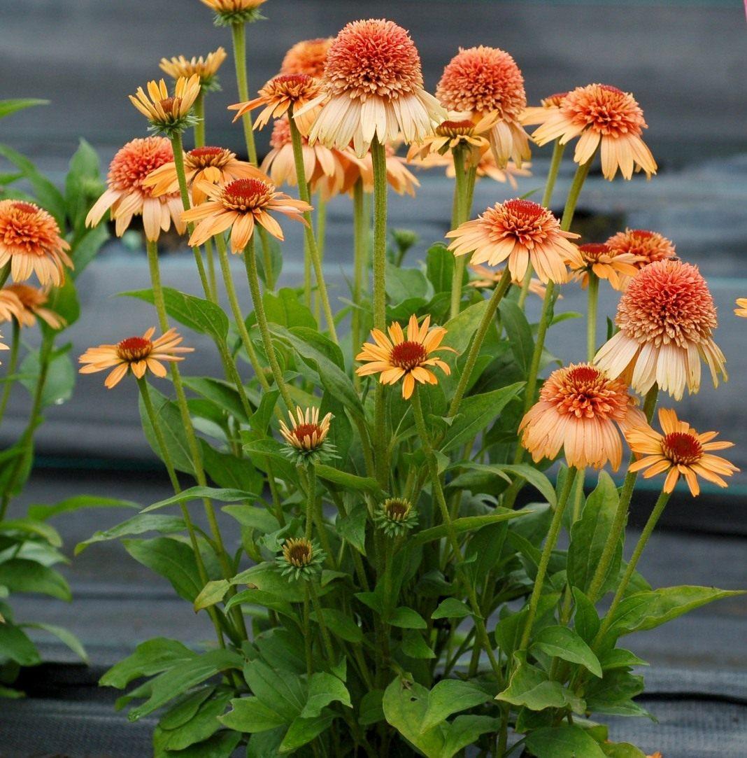 Echinacea-Supreme-Cantaloupe-3