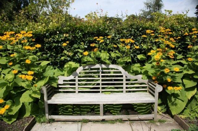 Девясил великолепный (Inula mafnifica) в дизайне сада
