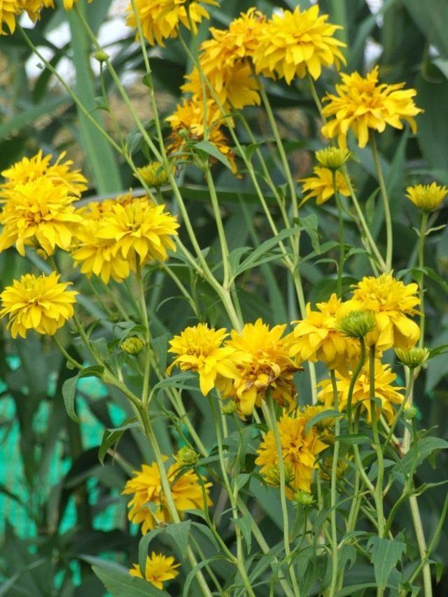 Рудбекия рассечённая (Rudbeckia laciniata)