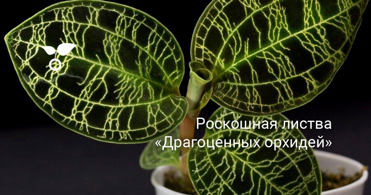 Драгоценные орхидеи (Jewel orchids)