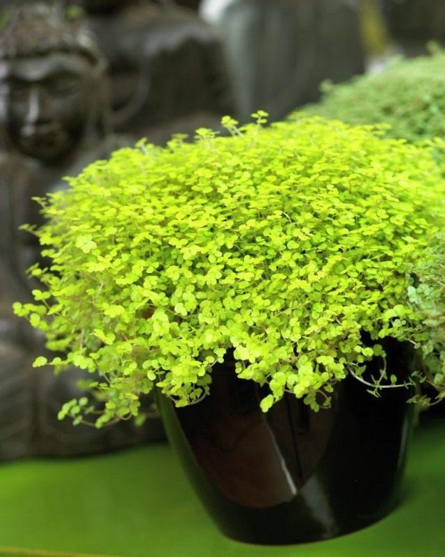 Солейролия солейроля (Soleirolia soleirolii)
