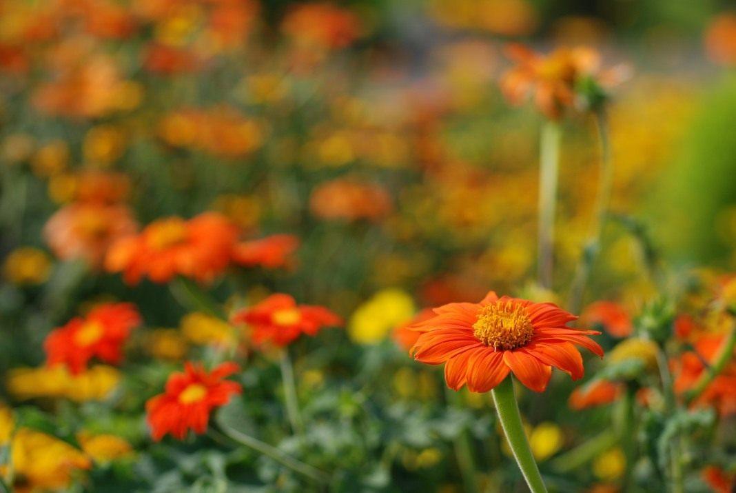 Цветок титония рыжий фонарь посадка и уход