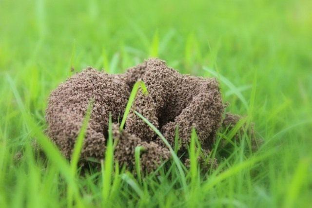 Муравейник на поверхности газона