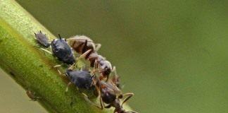 Чёрный садовый муравей и тли
