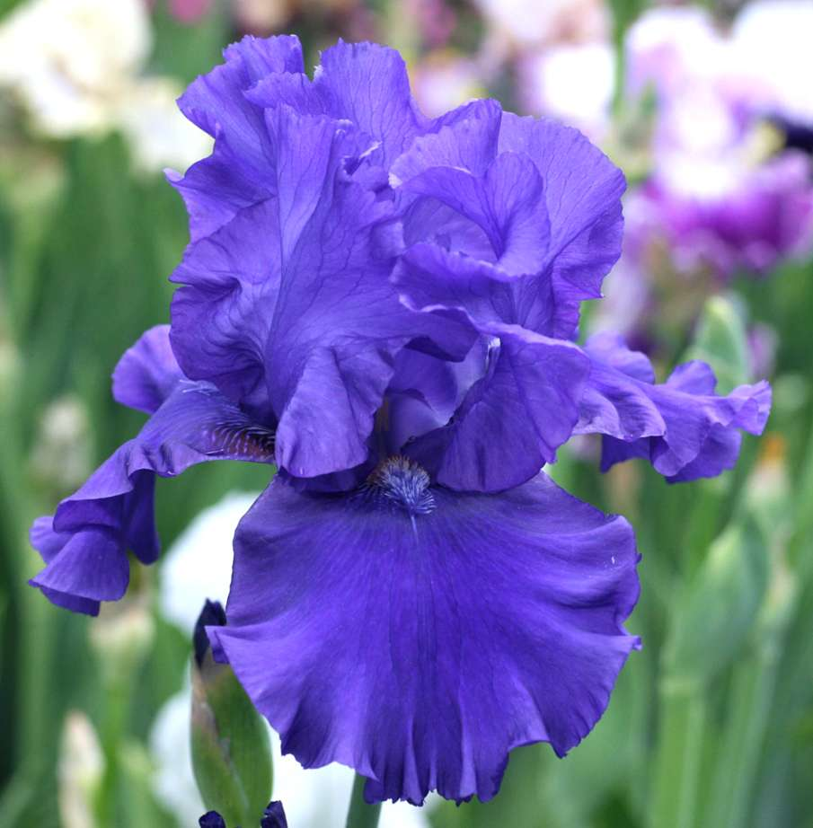 blueberry-bliss-1