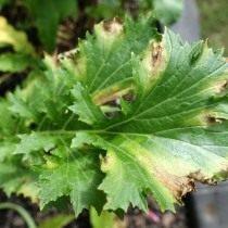 Церкоспороз, или бурая пятнистость на листьях салата Мизуна