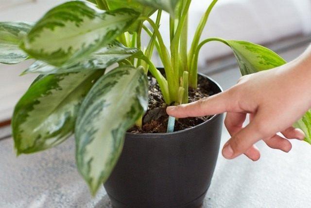 Внесение долгодействующего удобрения для комнатных растений в палочках