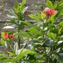 Ятрофа цельнокрайная (Jatropha integerrima)